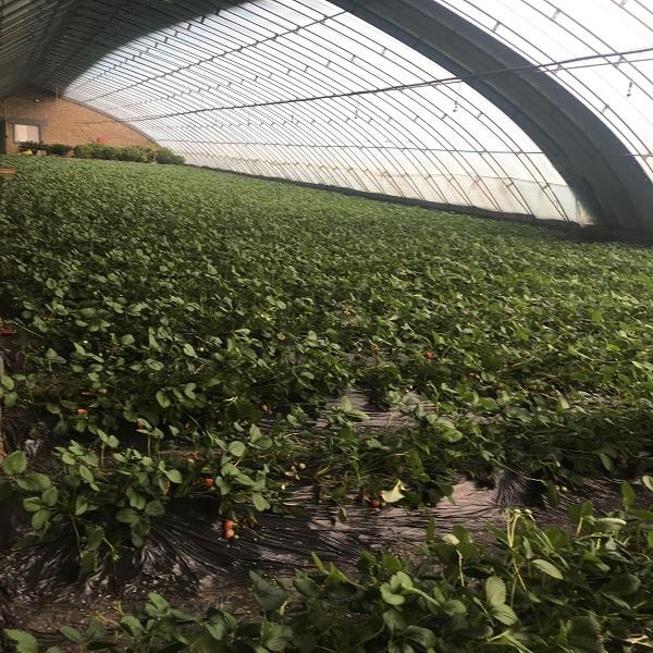 包头草莓采摘